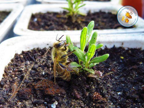 levendula palántán éjszakázó méhike