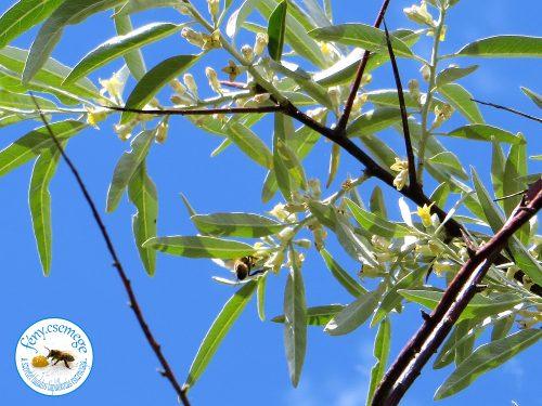 olajfűz / ezüstfa