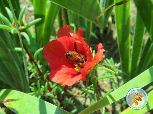 porcsinrózsa / kukacvirág / kővirág