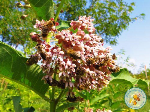 méh járta selyemfű / vaddohány / selyemkóró virág