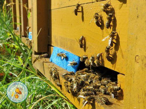 méh vs darázs a kaptár kijáróban