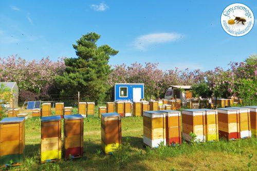 méhes rózsaszín akác virágzásakor