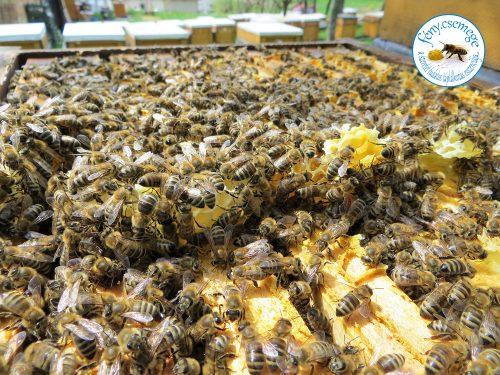 méhik a lépeken