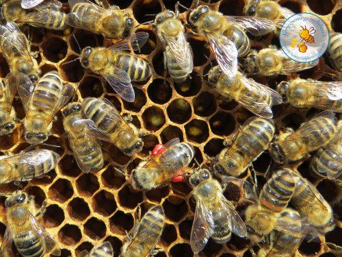 méhike piros virágporral