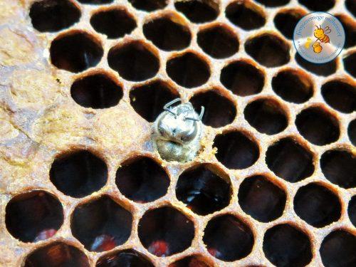 méhike születik