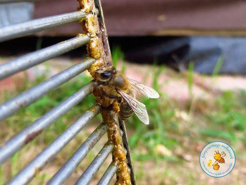 méhike visszaviszi a propoliszt a kaptárba