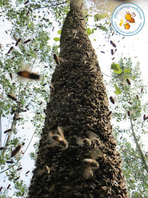 méhrajtól bundás fa
