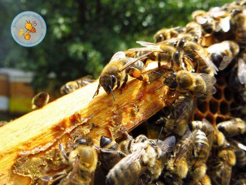 propolisszal érkező méhecske